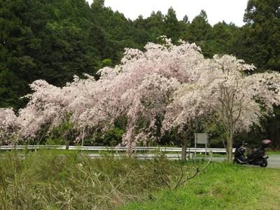 しだれ桜1.jpg