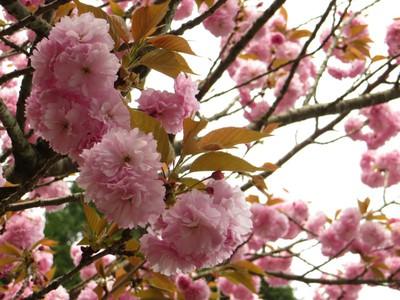 何桜?.jpg